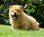 Small #5 Chow Chow