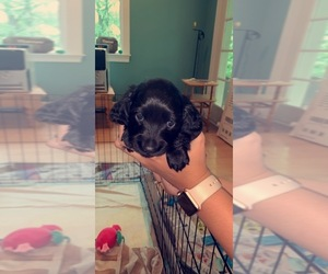 Dachshund Puppy for sale in DUNN, NC, USA