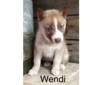 Small Photo #4 Siberian Husky Puppy For Sale in DEARBORN, MO, USA