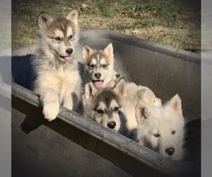 Wolf Hybrid Puppy for Sale in CLARKSVILLE, Tennessee USA