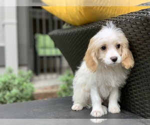 Cavachon Puppy for sale in HOUSTON, TX, USA