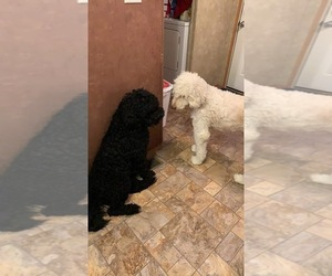 Father of the Australian Shepherd-Bernedoodle Mix puppies born on 08/10/2020