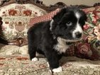 Australian Shepherd Puppy For Sale in AZLE, Texas,