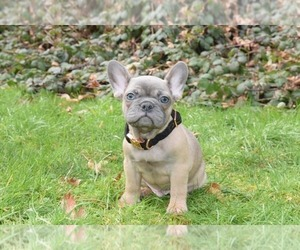 French Bulldog Puppy for Sale in MARYSVILLE, Washington USA