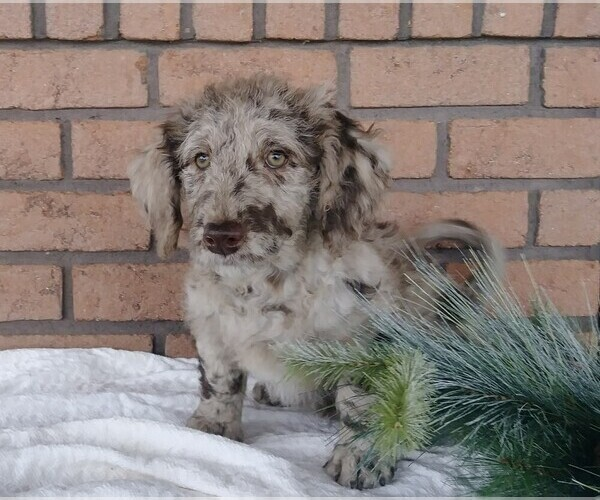View Ad: Labradoodle-Poodle (Miniature) Mix Puppy for Sale In Denmark