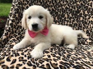 View Ad Golden Retriever Puppy For Sale Pennsylvania Ephrata Usa
