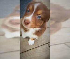 Australian Shepherd Puppy for Sale in HAMPTON, Virginia USA