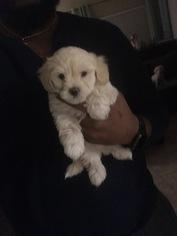 Morkie-Poodle (Miniature) Mix Puppy For Sale in PHOENIX, AZ, USA