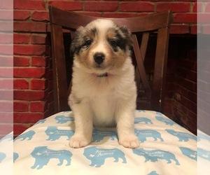 Australian Shepherd Puppies for Sale near Tyler, Texas, USA, Page 1