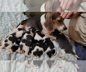 Beagle Puppy for sale in PURLEAR, NC, USA