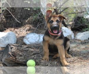 German Shepherd Dog Puppy for sale in HEMET, CA, USA