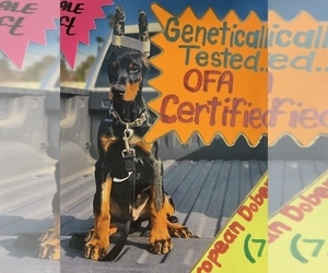 Doberman Pinscher Puppy for sale in CORONA, CA, USA