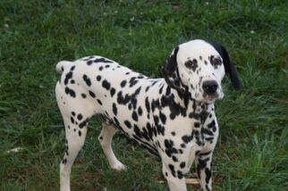 Father of the Dalmatian puppies born on 12/07/2018