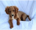 Small #7 Cavapoo