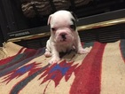 French Bulldog Puppy For Sale in STURGEON, MO, USA
