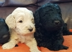 Goldendoodle Puppy For Sale in REXBURG, ID, USA