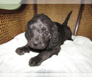 Labradoodle Puppy for sale in FORT WAYNE, IN, USA