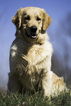 Golden Retriever Puppy For Sale in CLEMENTS, MD,