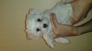 Maltese Puppy for sale in La Verne, CA, USA