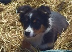 Australian Shepherd Puppy For Sale in WEST TISBURY, MA