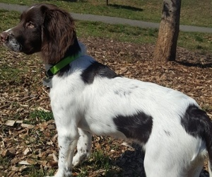 English Springer Spaniel Puppy for sale in EUGENE, OR, USA