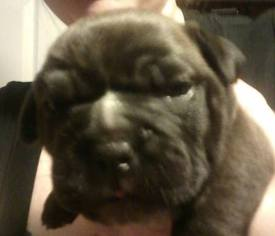 Bullypit Puppy For Sale in WEST LAWN, PA