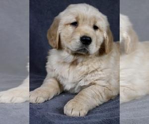 Golden Retriever Puppy for sale in SAN FRANCISCO, CA, USA