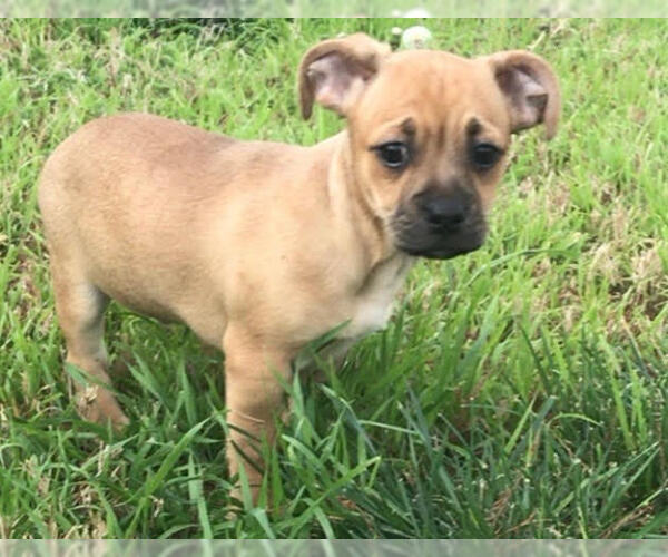 Buggs-Chiweenie Mix dog