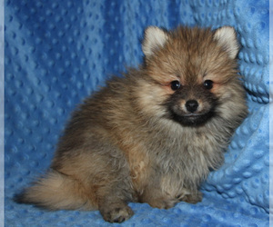 Pomsky Puppy for Sale in DENTON, Texas USA