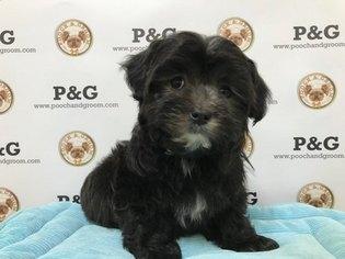 Malchi Puppy For Sale in TEMPLE CITY, CA, USA