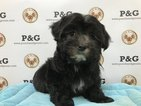 Malchi Puppy For Sale in TEMPLE CITY, CA, USA