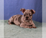 Small Photo #4 French Bulldog Puppy For Sale in BROOKLYN, NY, USA