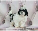Puppy 2 Zuchon
