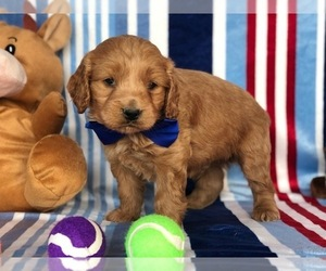 Labrador Retriever Puppy for sale in CLAY, PA, USA