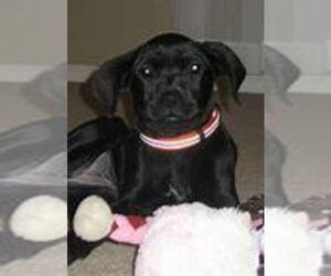Boxador Puppy for sale in TOLEDO, OH, USA
