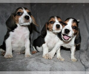 Beagle Puppy for Sale in LAKESIDE, California USA