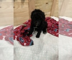 Small Photo #19 Poodle (Standard) Puppy For Sale in TAMPA, FL, USA