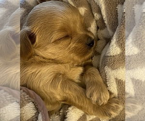 Maltipoo Puppy for sale in HOLLY SPRINGS, NC, USA