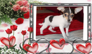 Chihuahua Puppy For Sale in FLORISSANT, MO