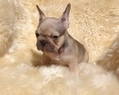 French Bulldog Puppy For Sale in POTTER VALLEY, CA, USA