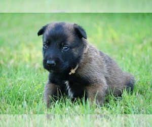 Belgian Malinois Puppy for Sale in ETOWAH, Oklahoma USA