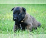 BELGIAN MALINOIS INCREDIBLE LITTER