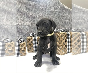 Great Dane Puppy for sale in SEYMOUR, IN, USA