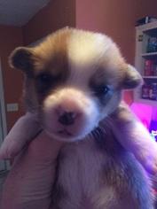 Pembroke Welsh Corgi Puppy For Sale in COLUMBUS, GA, USA