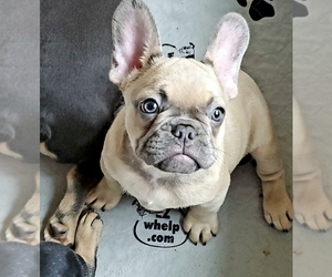 French Bulldog Puppy for Sale in GARDEN VALLEY, California USA