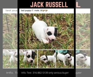 Jack Russell Terrier Puppy for sale in FORT PIERCE, FL, USA