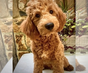 Goldendoodle-Poodle (Miniature) Mix Puppy for sale in CHATHAM, PA, USA