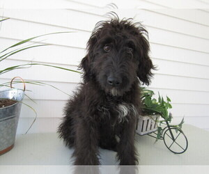 Bernedoodle Puppy for sale in BATTLE CREEK, MI, USA