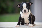 Boston Terrier Puppy For Sale in FREDERICKSBURG, OH, USA