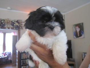 Shih Tzu Puppy for sale in GODFREY, IL, USA